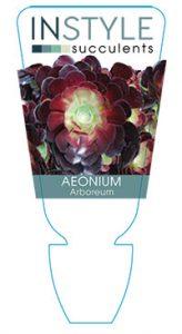 Aeonium-arboreum-instyle-succulents