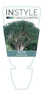 Aloe-barbarae