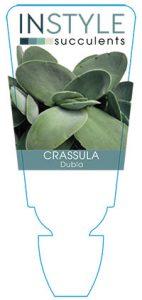 Crassula-dubia-instyle-succulents
