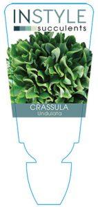 Crassula-undulata-instyle-succulents