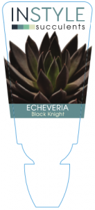 Echeveria Black Knight