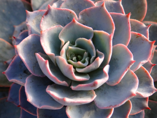 Echeveria Morning Beauty