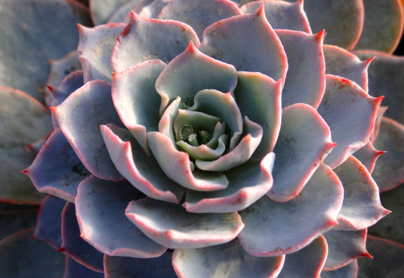 echeveria morning beauty instyle succulents