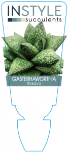 Gasterhaworthia Rosava