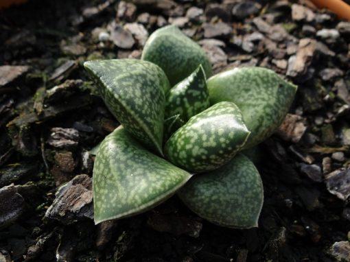 Gasterhaworthia cv. Rosava