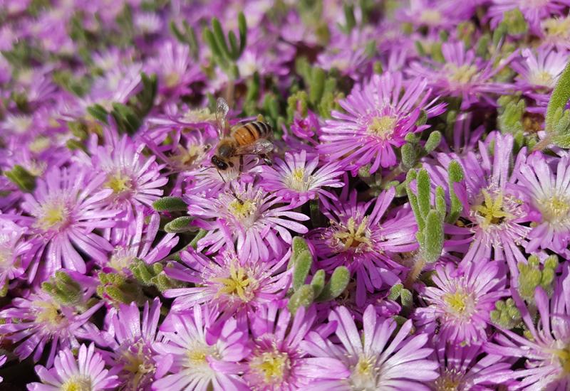 Mesembryanthemum Pink Dwarf