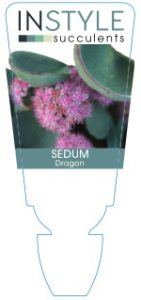 Sedum-Dragon