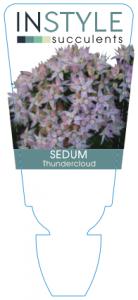 Sedum Thundercloud