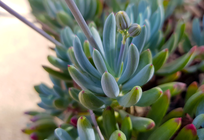 Senecio Blue Chalk Sticks Dwarf