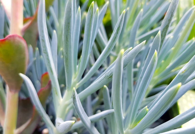 Senecio Blue Chalk Sticks