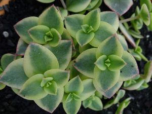 crassula-calicokitten (4) - Small
