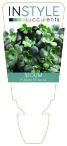 Sedum Purple Mound