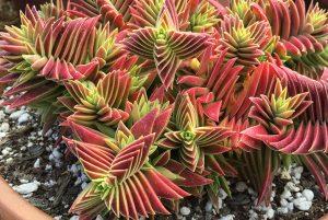 succulent-instyle-Crassula-capitella-ssp.-thyrsiflora