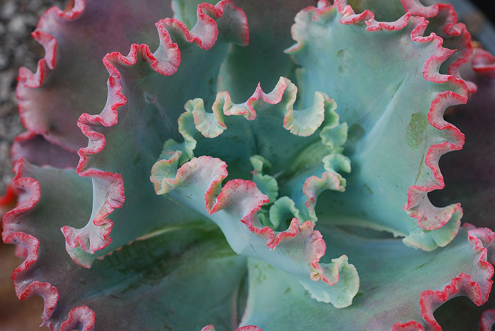 Echeveria Fire And Ice Instyle Succulents