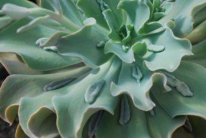 succulent-instyle-Echeveria-Paul-Bunyan-(6)