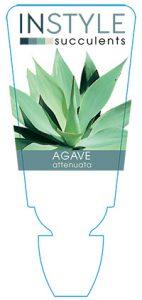 succulent-instyleAgave-attenuata