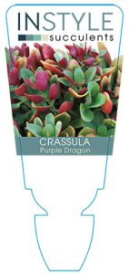 succulent-instyleCrassula-Purple-Dragon