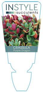 succulent-instyleCrassula-Purple-Dragon