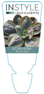 succulent-instyleEcheveria-Baron-Bold