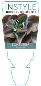 succulent-instyleEcheveria-Big-Red