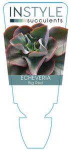 succulent-instyleEcheveria-Big-Red