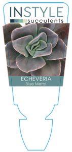 succulent-instyleEcheveria-Blue-Metal