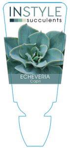 succulent-instyleEcheveria-Capri