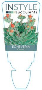 succulent-instyleEcheveria-Cosmo