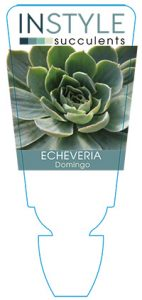 succulent-instyleEcheveria-Domingo