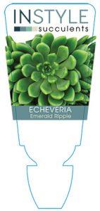 succulent-instyleEcheveria-Emerald-Ripple