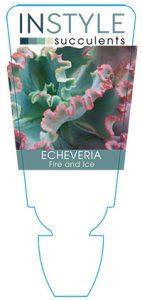 succulent-instyleEcheveria-Fire-Ice