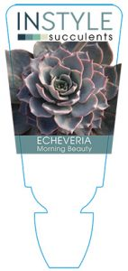 succulent-instyleEcheveria-Morning-Beauty