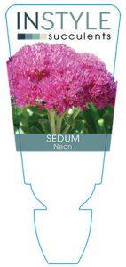 succulent-instyleSedum-Neon