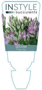 succulent-instyleSedum-Pure-Joy