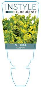 succulent-instyleSedum-aureum