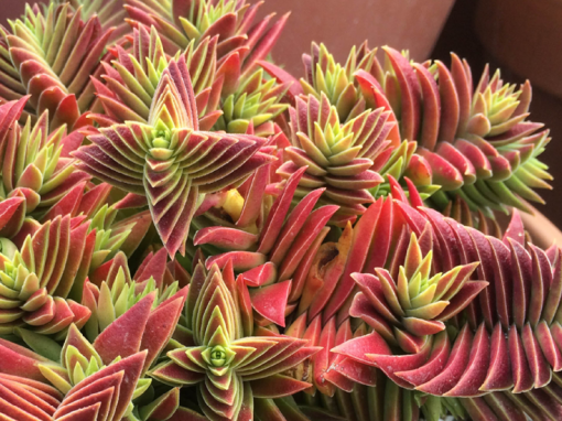 Crassula Capitella