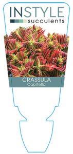 succulent-instyleCrassula-Capitella