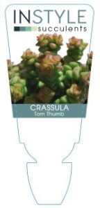 Crassula-Tom-Thumb