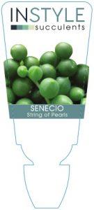 Senecio-Pearls