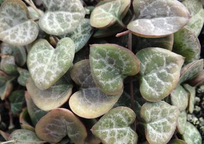 Ceropegia Chain Of Hearts