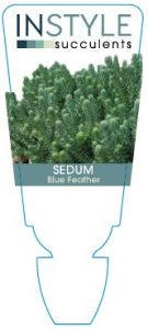 sedum-blue-feather