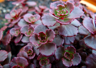 Sedum Chocolate Mound
