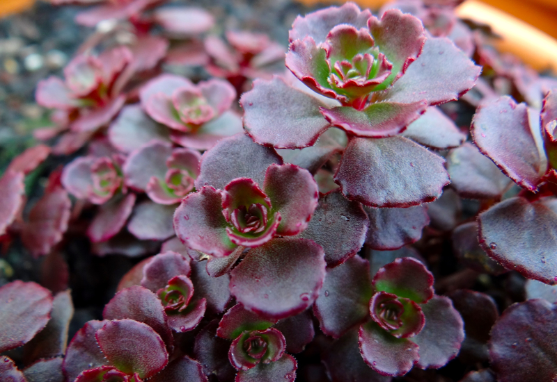 Sedum Chocolate Blob