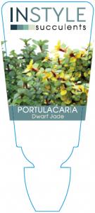Portulacaria Dwarf Jade