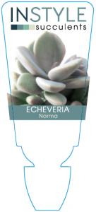 Echeveria Norma