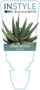 Haworthia Radula