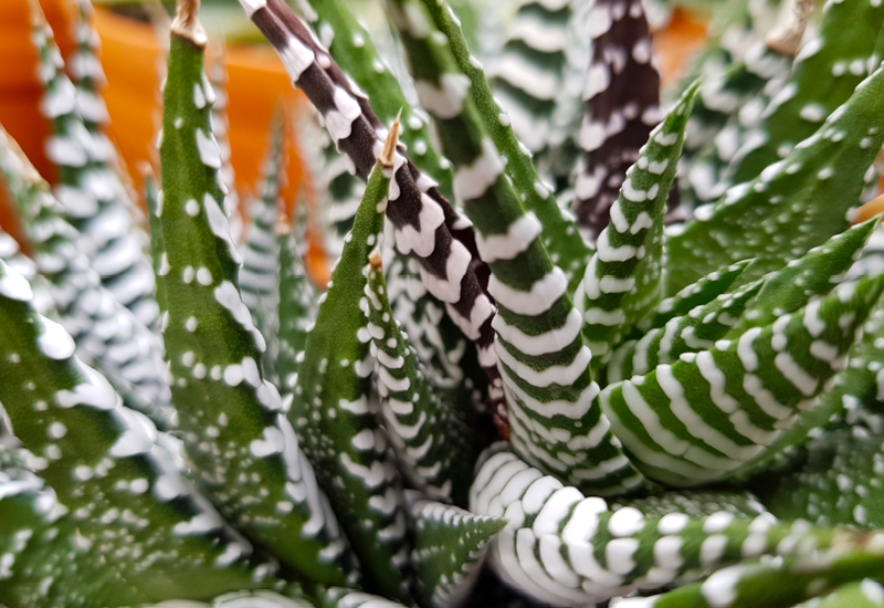 Haworthia Japanese Super Clone