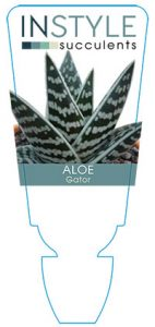 Aloe-gator-instyle-succulents