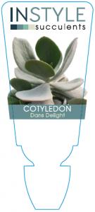 Cotyledon Dans Delight
