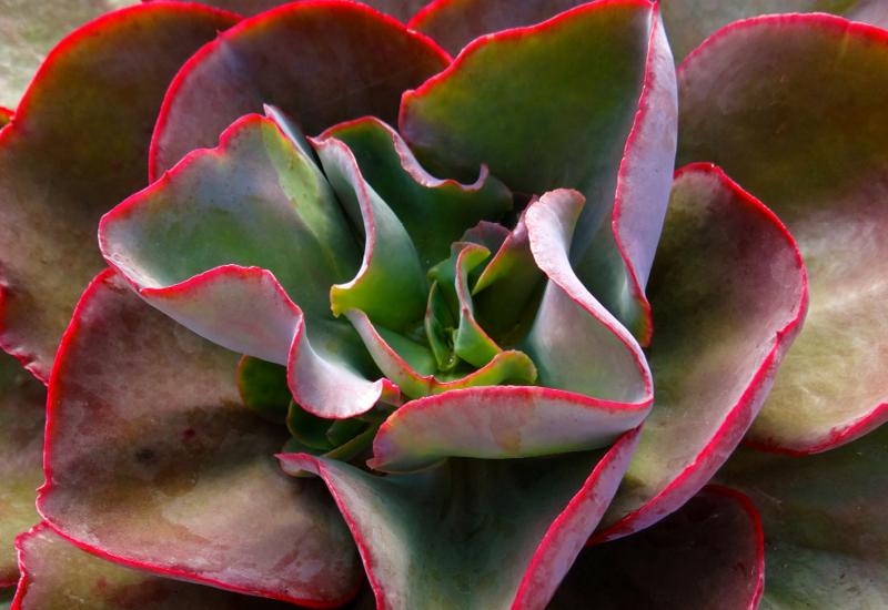 Echeveria Big Red